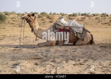 Camel resting on the sands in Thar desert, Jaisalmer, Rajasthan, India - Stock Photo