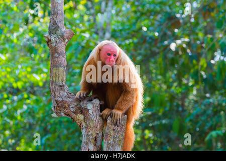 Red bald-headed Uakari monkey also known as British Monkey (Cacajao calvus rubicundus), Amazon state, Brazil - Stock Photo
