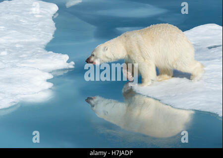 Male Polar Bear (Ursus maritimus) with blood on his nose and leg starrting to jump over ice floes and blue water, - Stock Photo