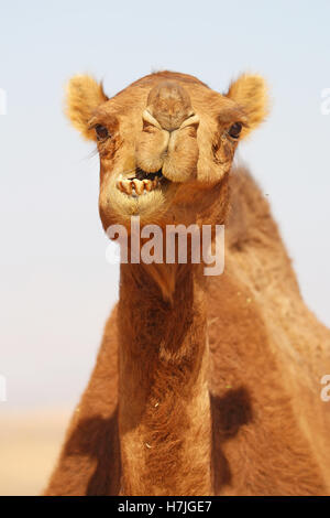 Camel in the desert in Amman, Jordan - Stock Photo