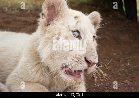 White bengal tiger cub (Panthera tigris tigris) - Stock Photo