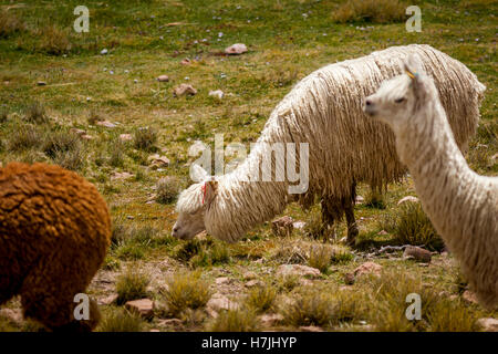Alpaca Suri enjoying the grasslands of Peru - Stock Photo