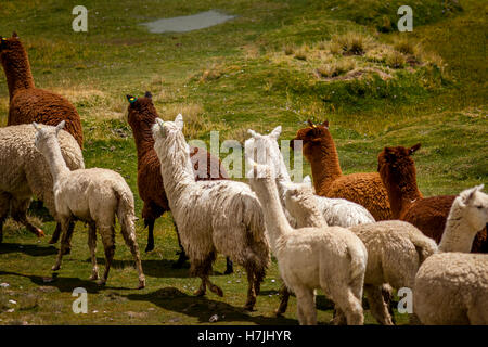 Herd of Alpaca Huacaya and Alpaca Suri. - Stock Photo