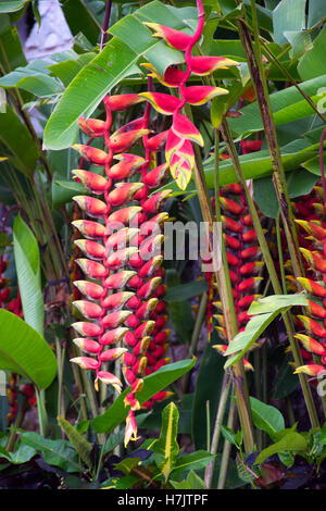 Heliconia pendula - Stock Photo