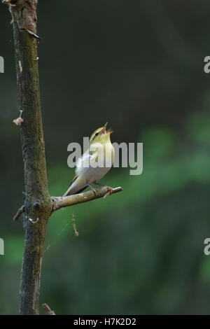 Wood Warbler ( Phylloscopus sibilatrix ), New world Warbler, male, perched on a branch, singing, courting, Europe. - Stock Photo
