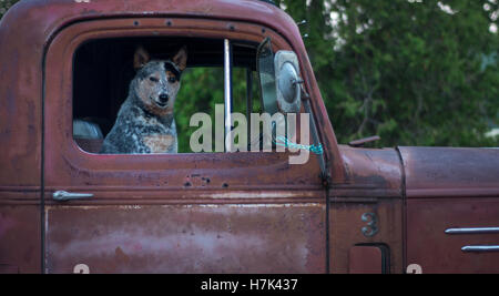 Cute dog in old red rusty truck - Stock Photo
