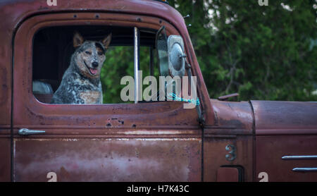 Cute happy dog in old rusty red pickup truck - Stock Photo
