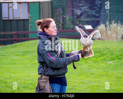 Falconer with a Saker Falcon (Falco cherrug) at a demonstration at Thorp Perrow Arboretum Bedale UK - Stock Photo