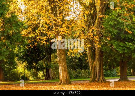 Autumn colours and trees,  woodland walk, Cyfarthfa Park, Merthyr Tydfil, South Wales - Stock Photo