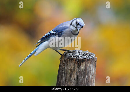 A blue jay (Cyanocitta cristata) perching on a fence post on a sunny day in Fall - Stock Photo