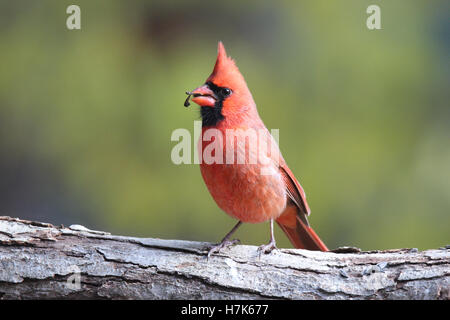 A bright red male northern cardinal (Cardinalis cardinalis) perching on a branch in Fall eating seeds - Stock Photo