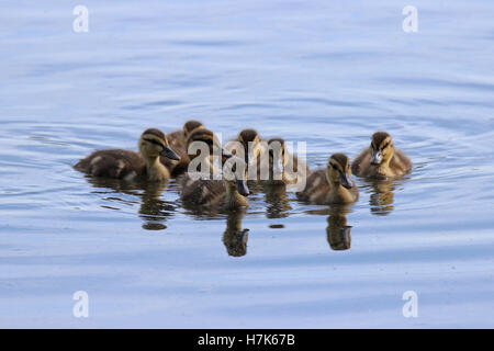 A group of little mallard ducklings  (Anas playrhynchos) swimming together on a pond - Stock Photo