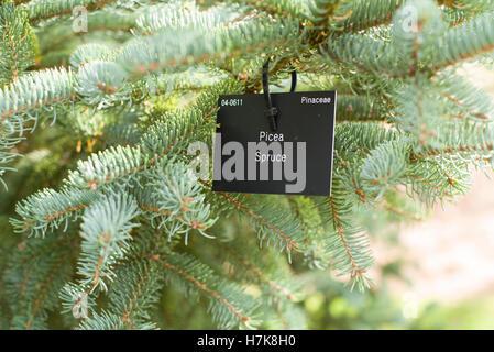 Picea Spruce label - Stock Photo