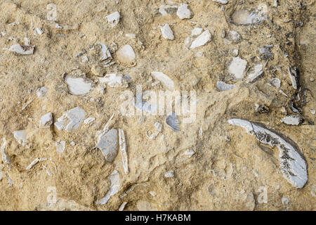 Gozo, Dwejra bay. 20 million year old sea shell fossils embedded in the eroded rocks of the shore. - Stock Photo