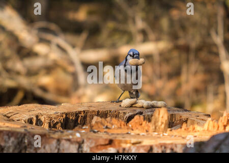A lone blue jay feeding on some nuts - Stock Photo
