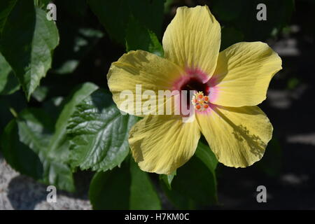 Big Yellow Hibiscus Flower with Green Leaves. Hibiscus blooms in  sunshine, this is easy to grow flowers for making - Stock Photo