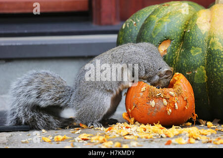 A squirrel digs into a pumpkin for some Halloween treats. - Stock Photo