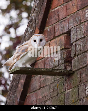 A wild young Barn Owl Tyto Alba at entrance to it's nest site - Stock Photo