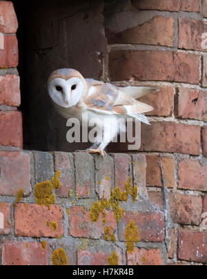 A wild young Barn Owl Tyto Alba lands at entrance to it's nest site after an exploratory flyby - Stock Photo