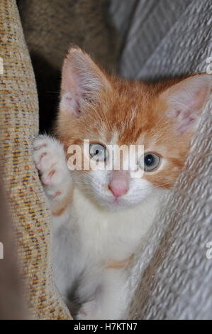 little cute ginger kitten playing on the sofa in the cushions - Stock Photo