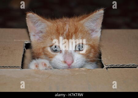 ginger kitten playing in a box, cute cat - Stock Photo