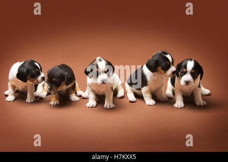 Jack Russell mixed with Cavalier King Charles puppies Property released - Stock Photo