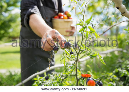 Farm-to-table chef harvesting ripe tomatoes in sunny vegetable garden - Stock Photo