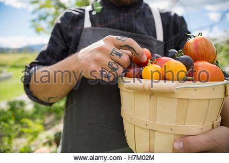 Tattooed farm-to-table chef harvesting ripe heirloom tomatoes in bushel - Stock Photo