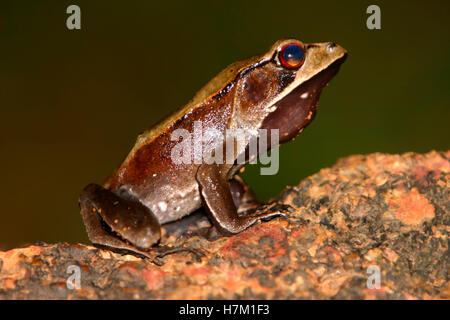 Bicolored Frog Clinotarsus curtipes  (Rana curticeps) - Stock Photo
