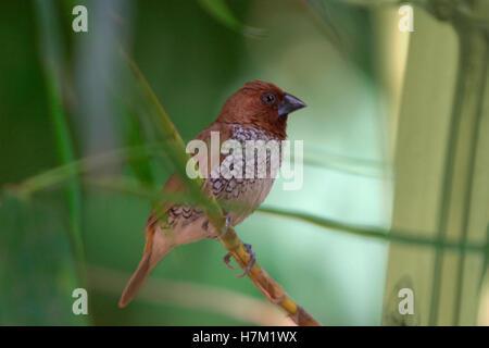 Scaly-Breasted Munia (Lonchura punctulata), Kanha Madhya Pradesh, India - Stock Photo