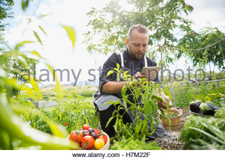 Farm-to-table chef with digital tablet harvesting ripe tomatoes in vegetable garden - Stock Photo