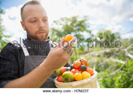 Farm-to-table chef harvesting and inspecting ripe heirloom tomatoes in garden - Stock Photo