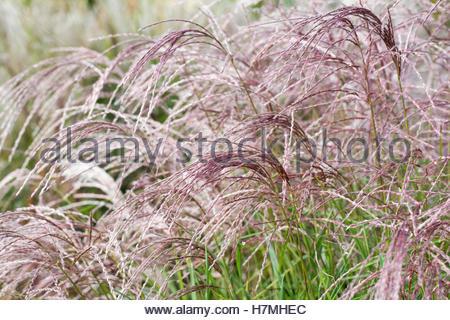 Miscanthus sinensis 'Flamingo'. - Stock Photo