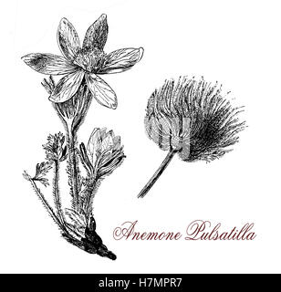 Pulsatilla vulgaris or pasque flower is a flowering plant with hairy leaves and with purple flowers followed by - Stock Photo