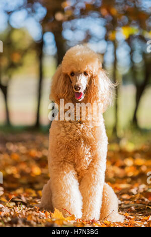 portrait of a royal poodle in an autumn forest - Stock Photo