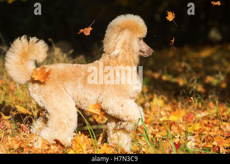 royal poodle has fun with autumn leaves - Stock Photo