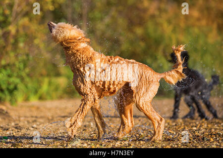 wet royal poodle shaking the fur after running in a lake - Stock Photo