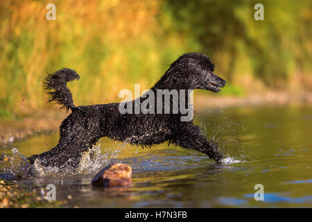 royal poodle running in the water of a lake - Stock Photo