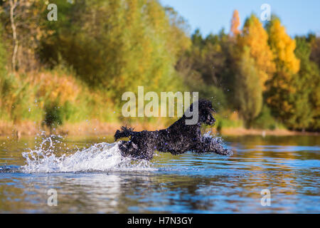 royal poodle jumps in the water of a lake - Stock Photo