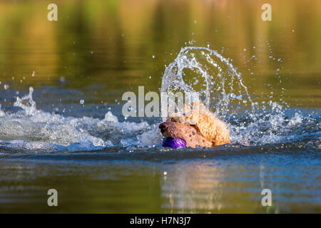 royal poodle having fun by swimming in a lake - Stock Photo