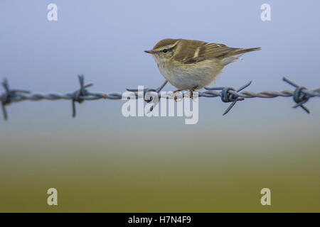 Yellow-browed Warbler (Phylloscopus inornatus) perched on wire fence, Mainland Shetland - Stock Photo