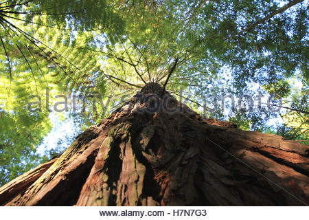 redwood in whakarewarewa forest, rotorua, north island, new zealand - Stock Photo