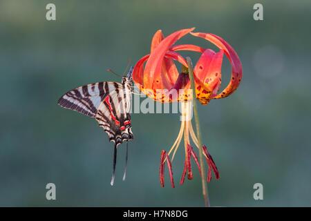 Zebra Swallowtail (Protographium marcellus) Adult alighting on Turk's Cap Lily (Lilium superbum) blossom. - Stock Photo