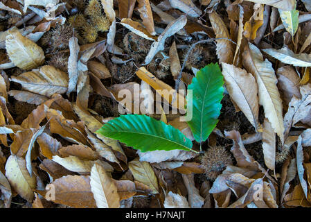 Fresh and withered Sweet chestnut (Castanea sativa) leaves, closeup, Divonne les Bains, Auvergne-Rhône-Alpes, France - Stock Photo