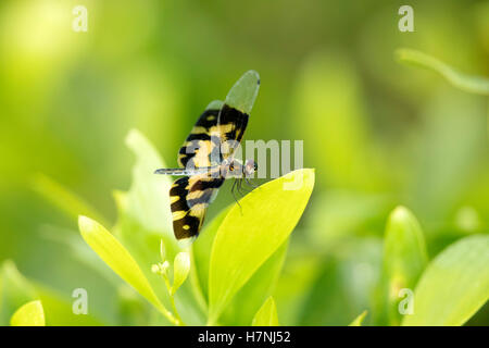 Dragonfly , Variegated Flutterer, Rhyothemis variegata, sitting on the green leaves. Beautiful dragon fly in the nature habitat