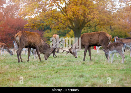 Red Deer Stags fighting In Richmond Park UK - Stock Photo