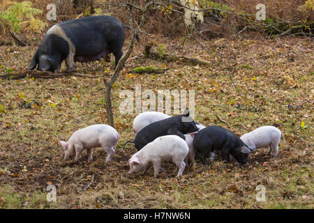 Pig and piglets foraging for acorns in pannage season at Anderwood in the New Forest in November - Stock Photo