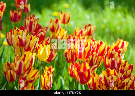 bee collects pollen on tulips, flower-bed with tulips blossoming in different shapes and colors, the first spring - Stock Photo