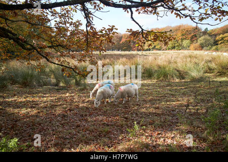 flock of sheep in rough grassland parkland in chorley lancashire uk - Stock Photo