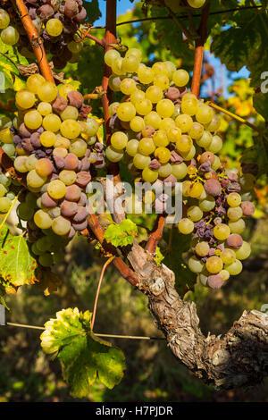 White grape in Sauternes Region, Barsac, Bordeaux, Aquitaine France Europe - Stock Photo